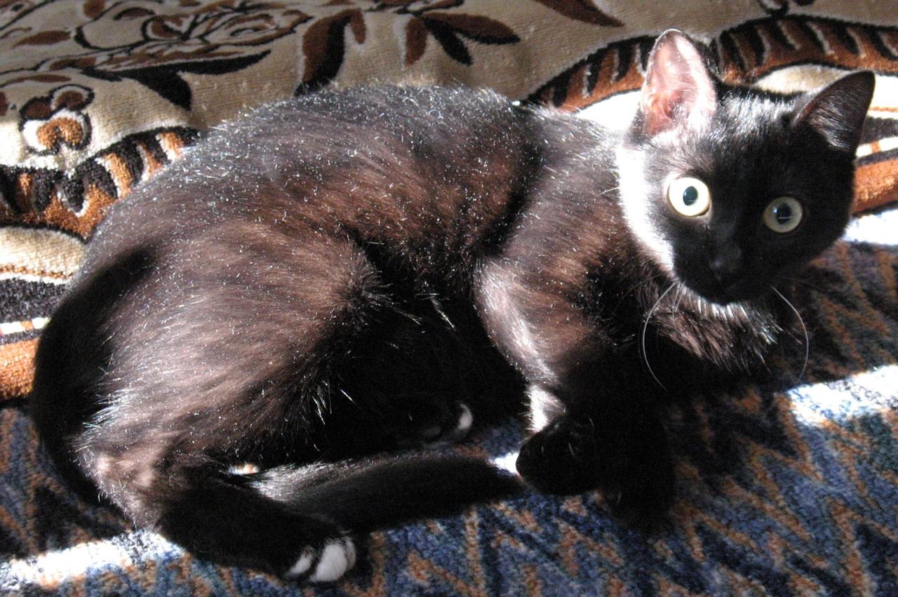 Кошка в возрасте около 1 года